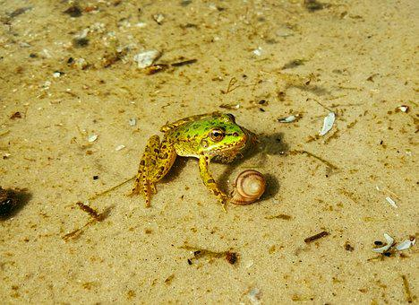 Frog, Water, Animals, Pond, Nature, Toad, Summer, Cute