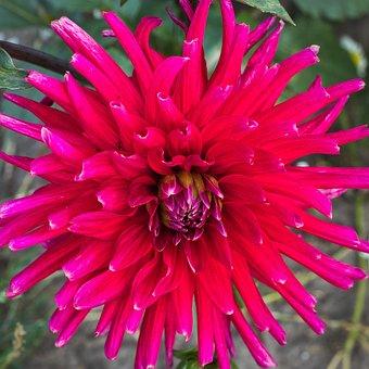 Dahlia, Red, Pink, Bright, Composites, Dalia