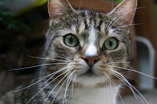 Whiskers, Cat, Pet, Domestic Cat, Eyes, Cat Face