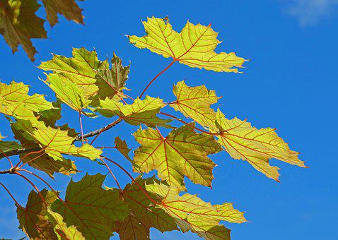 Maple Leaves, Frühherbst, Emerge, Yellow Green