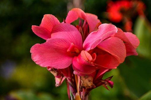 Flower, Achira, Garden, Exotic