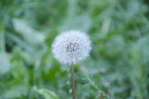 Dandelion, Flower, Summer, Nature