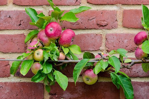Apple, Espalier Fruit, Fruit, Cultivation, Food