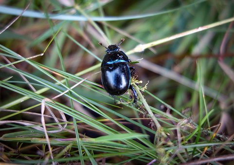 Beetle, Black Beetle, Insect, Forest Beetle, Close Up
