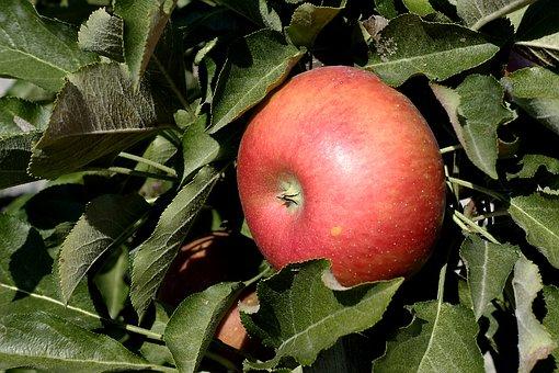 Apple, Fruit, Red, Fresh, Healthy, Vitamins, Ripe