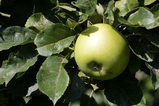 Apple, Fruit, Green, Fresh, Healthy, Vitamins, Ripe