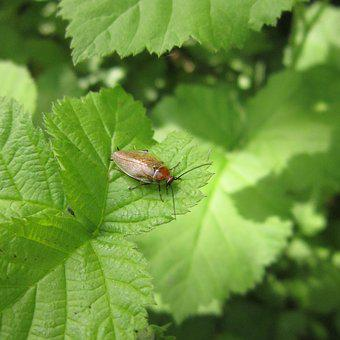 Insect, Bug, Cockroach, Green, Leaves, Plant