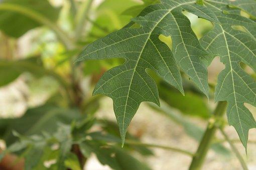 Milky, Frutabomba, Leaf, Plant, Green, Garden, Summer