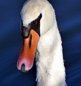 Swan, Head, Beak, Neck, White, Nature, Elegant, Pen