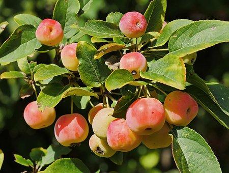Zieraepfel, September, Pale Red, Mature, Home Garden