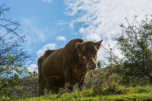 Cow, Sky, Nature, Clouds, Landscape, Area, Chan, Farm