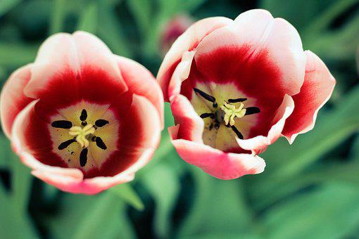 Tulip, Tupips, Nature, Garden, Flowers, Plant, Spring