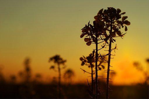 Oilseed Rape, Autumn, Twilight, Landscape, Field
