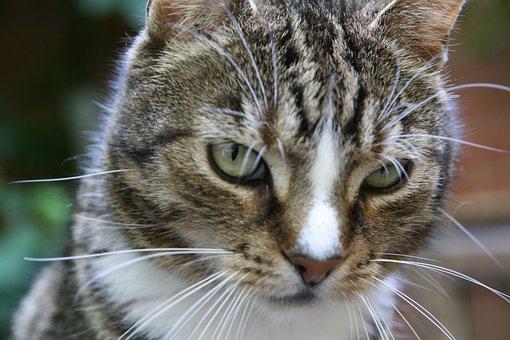 Cat, Pet, Cat's Eyes, Portrait, Close Up, Whiskers