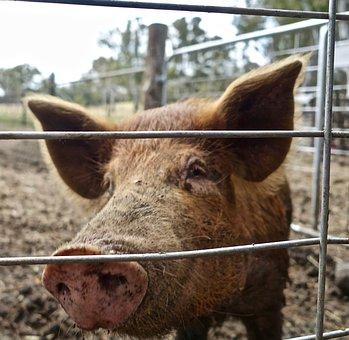 Pig, Hog, Animal, Snout, Swine, Boar, Pork, Livestock