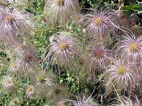 Flower, Clematis, Ranunculaceae, Garden, Spring, Pink