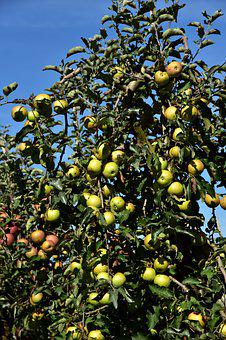 Apple Tree, Apple, Fruit, Ripe, Kernobstgewaechs