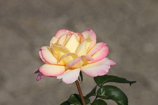 Rose, Pink, White, Yellow, Tender, Rose Bloom