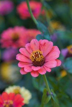 Zinnia, Sri Lanka, Blossom, Bloom, Bright, Pink