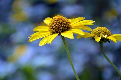 Sun Brews, Flower, Helenium, Composites, Blossom, Bloom
