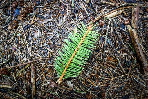 Tannenzweig, Branch, Green Branch, Needles