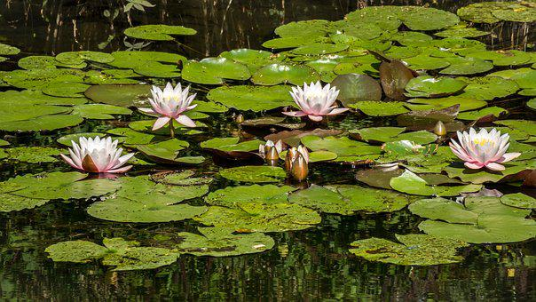 Water Lilies, Pond, Lily Pad, Aquatic Plant
