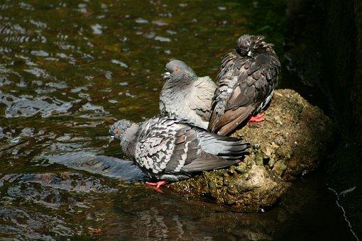 Pigeons, Wet, Bad, Morning Toilet, Bird Bath