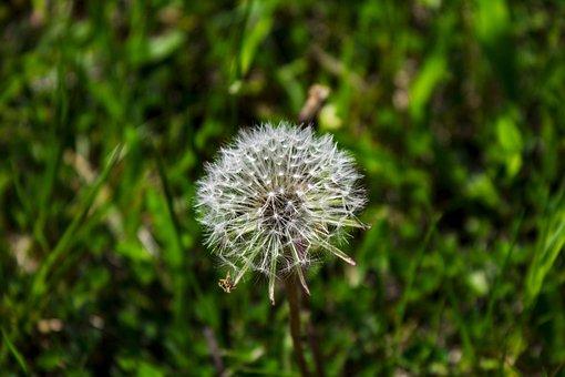 Dandelion, Nature, Plant, Summer, Flower, Wild Flower