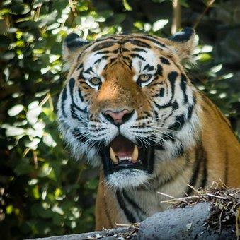 Tiger, Zoo, Animal, Wildcat, Hunter, Tooth