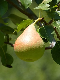 Peral, Tree, Fruit, Mature, Healthy, Agriculture