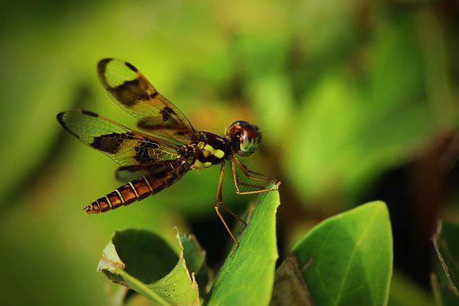 Dragonfly, Insect, Nature, Wing, Animals, Flying
