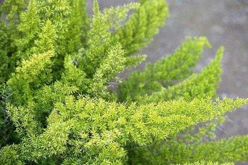 Foxtail Fern, Asparagus Desinflorus, Plant, Green