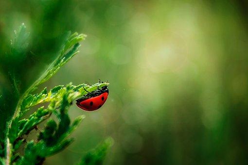 Ladybug, Insect, Beetle, Nature, Macro, Spring, Sheet