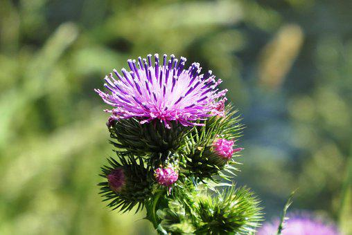 Thistle, Flowering Plant, Berm, Summer, Nature, Bloom