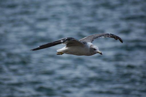 Animal, Sea, Bird, Wild Birds, Sea Gull, Seagull