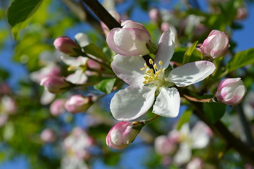 Apple Blossom, Flowers, Blossom, Bloom, Spring, Branch