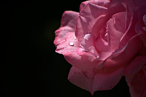Rose, Pink, Bloom, Nature, Love, Blossom, Flowers