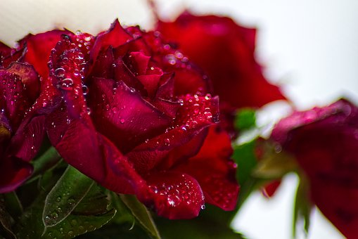 Roses, Raindrop, Give, Joy, Love, Blossom, Bloom, Macro