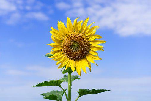 Sunflower, Blossom, Bloom, Yellow, Summer, Sun