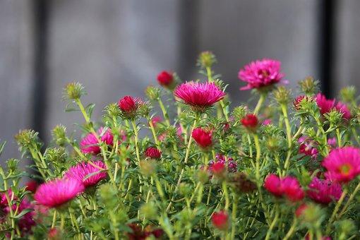 Aster, Purple Flowers, Bush, Garden, Blossom, Flowers
