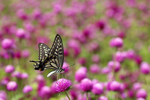 Angel Pink, Butterfly, Swallowtail, Insects, Nature