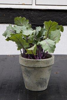 Cabbage, Garden, Vegetables, Plant, Kale, Leaf, Raw