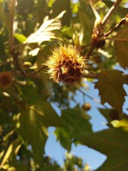 Chestnut, Late Summer, Chestnut Tree