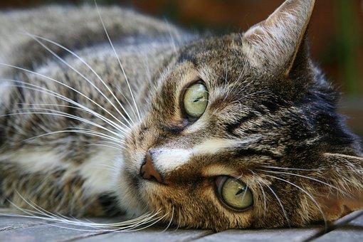 Cat's Eyes, Whiskers, Pet, Cat Face, Cat, Fur, Close Up