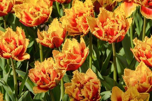 Tulips, Color, Flowers, Garden
