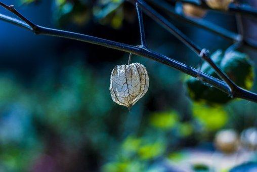 Uvilla, Dried Fruit, Artistic, Landscape