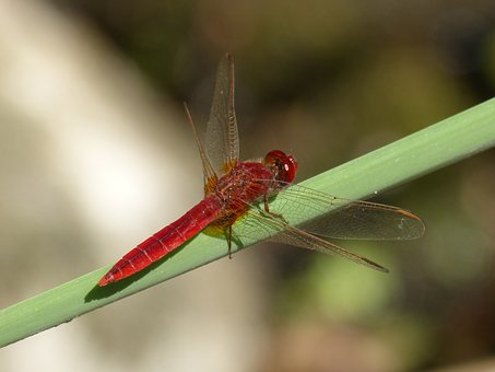 Dragonfly, Red Dragonfly, Erythraea Crocothemis, Junco