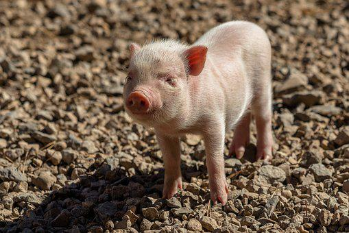Piglet, Pig, Farm, Sow, Curly Tail, Lucky Pig