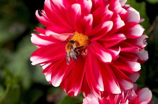 Flower, Georgia, Garden, Summer, Flora, Red, Crisp
