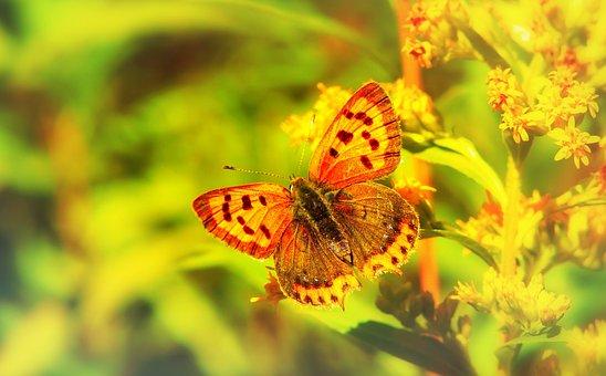 Czerwończyk Varieties, Insect, Butterfly Day, Flower